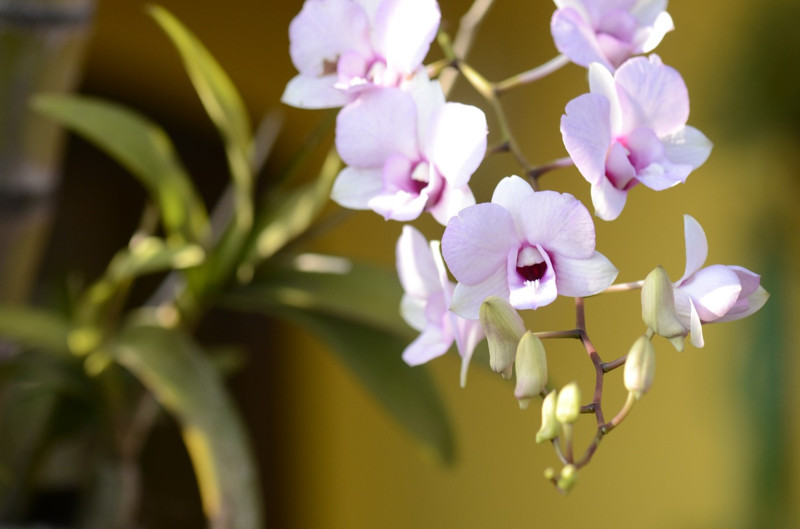 Beneficios de Tener Orquídeas en Casa