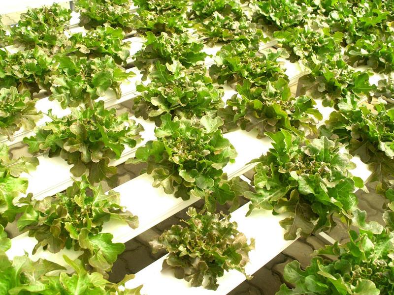 Cultivo Hidropónico: Ventajas y Desventajas del Cultivo sin Suelo